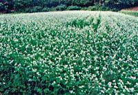 野津田農園のそば畑