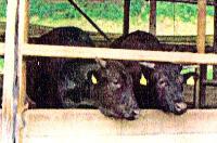 約300頭の牛を飼っている藤岡牧場